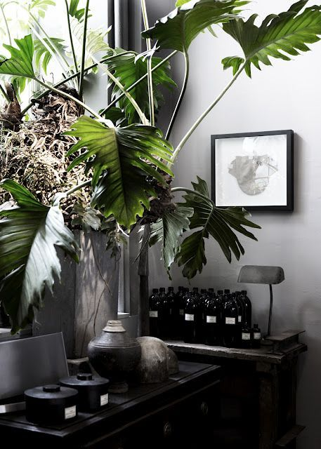 Комнатное растение с большими листьями